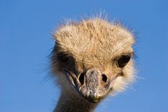 Portrait of ostrich Stock Image