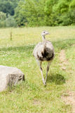 Portrait of an ostrich Royalty Free Stock Image
