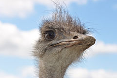 Portrait of an ostrich Stock Image