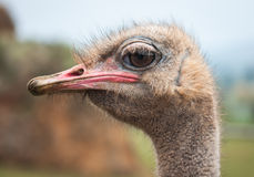 Portrait of an ostrich Stock Photography