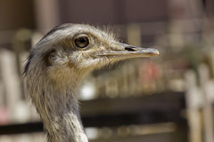 Portrait of an ostrich Royalty Free Stock Images