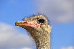 Portrait or ostrich Royalty Free Stock Images