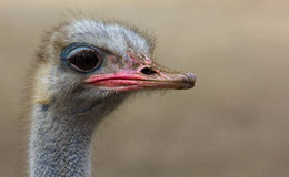 Portrait of an ostrich. Stock Photo