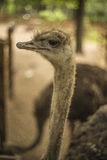 Portrait of an ostrich. On a farm Royalty Free Stock Photography