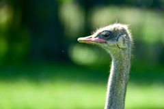 Portrait of an ostrich with a green background stock image
