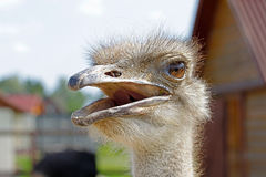 Portrait of ostrich head. Portrait of an ostrich head close-up Stock Photography