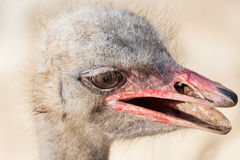 Portrait of an ostrich Stock Photo