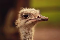 Portrait of ostrich. Important imposing curious ostrich in national nature park. Outdoor. Selective focus royalty free stock photos