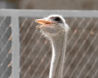 Portrait of ostrich on the nature. In the park in nature Stock Photography