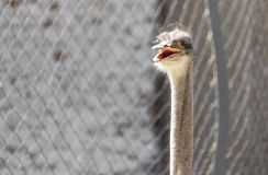Portrait of ostrich on the nature. In the park in nature Stock Photo