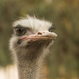 Portrait of a Ostrich Royalty Free Stock Images