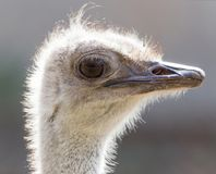Portrait of an ostrich. In the park in nature Royalty Free Stock Image