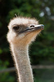 Ostrich Portrait Stock Photos