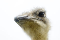 Portrait of Ostrich. (Struthio camelus) in captivity, Spain Stock Photos