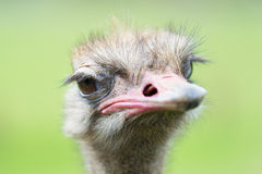 Portrait of Ostrich. (Struthio camelus) in captivity, Spain Royalty Free Stock Images