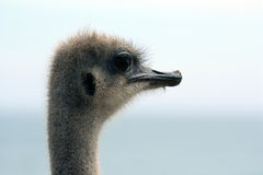 Portrait of an ostrich (Struthio camelus), Stock Photography