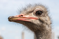 Portrait of an ostrich in sunny day Royalty Free Stock Photos