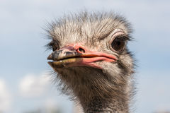 Portrait of an ostrich in sunny day Stock Photography
