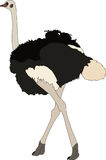 Portrait of a ostrich, walking away Royalty Free Stock Photo