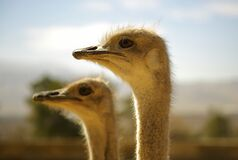 Portrait of Ostriches