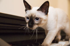 Portrait ot the grey kitten with the black nose and ears Royalty Free Stock Image