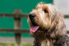 Portrait of an Otterhound with tongue out. Portrait of an Otterhound looking left with mouth open and tongue out Royalty Free Stock Photo
