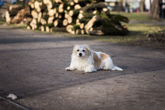 Portrait of overgrown  white dog Stock Photo