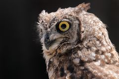 Portrait owl. A portrait of a beautiful owl Royalty Free Stock Images