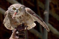 Portrait owl. A portrait of a beautiful owl Royalty Free Stock Photography
