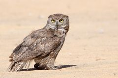 Portrait owl. A portrait of a beautiful owl Royalty Free Stock Image