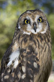 Portrait of an owl. Royalty Free Stock Images
