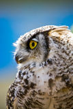 Portrait of an Owl Royalty Free Stock Image