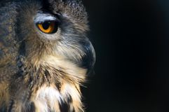 Portrait of an owl. Side portrait of an owl on a black background Royalty Free Stock Photos