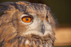 Portrait of owl Royalty Free Stock Images