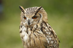 Portrait of an Owl Stock Photography