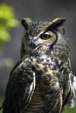 Portrait of owl. Portrait of single owl outdoors royalty free stock photos