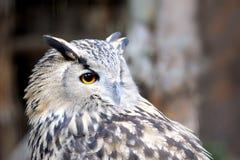 Portrait owl stock photography