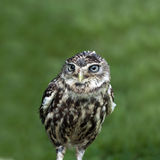Portrait on an owl. Portrait of small owl against green out of focus background Stock Photo