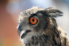 Head of young owl with glowing eyes Royalty Free Stock Photo