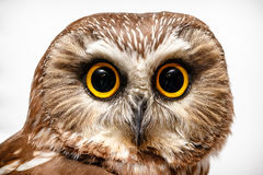 Portrait of owl. Portrait of staring owl with white background Stock Images
