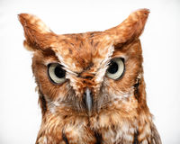 Portrait of owl Stock Image