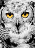 Portrait of owl stock photos