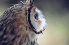 Portrait of owl Royalty Free Stock Image
