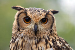 Portrait of a owl Stock Images