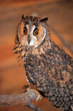 Owl portrait Stock Images