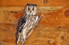 Owl portrait Stock Photo