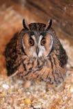 Owl portrait Stock Image