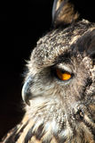 Portrait of an Owl in closeup Royalty Free Stock Photo