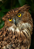 Portrait of an owl Royalty Free Stock Photo