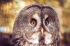 Portrait of an owl stock photo